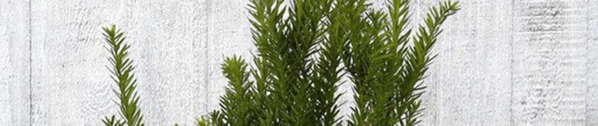Taxus 'Hillii' online kopen op Haagplanten.net