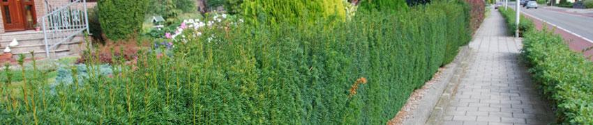De Taxus media 'Hillii' als haagplant