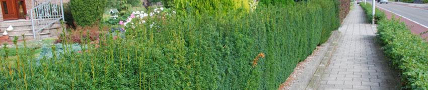 Taxushaag snoeien op Haagplanten.net