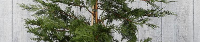 Leylandii coniferen verzorgen