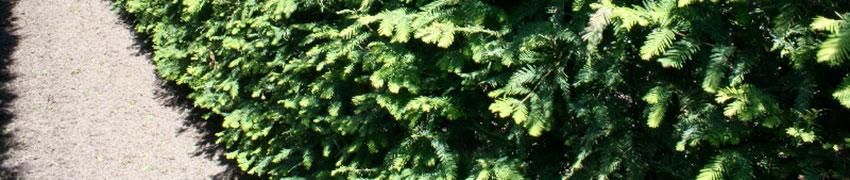 Verzorging en planten van de watercipres