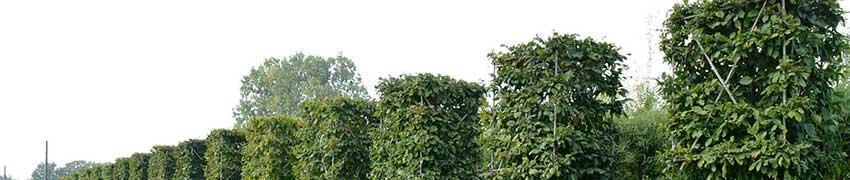 Voorgeleide leibomen in blokvorm bestellen