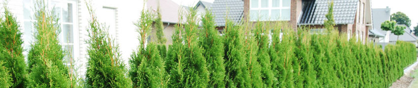 Westerse Levensboom 'Smaragd' als haagplant