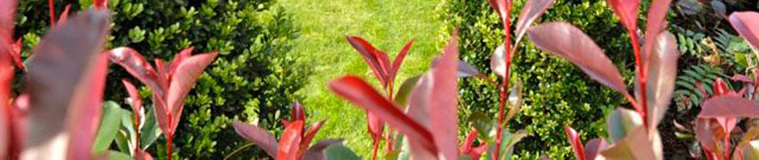 Wintergroene haagplanten in de tuin