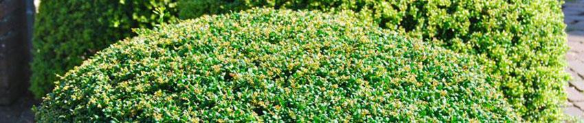 Japanse hulst 'Convexa' snoeien
