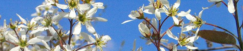 Krentenboompje bestellen bij Haagplanten.net