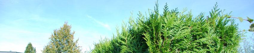 Levensboom kopen bij Haagplanten.net