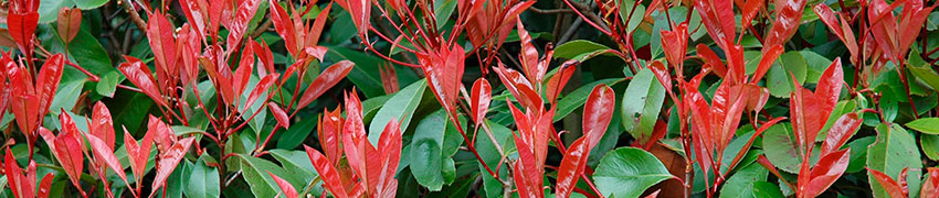 Photinia in de tuin