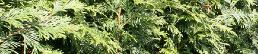 Reuzenlevensboom 'Excelsa' in de tuin