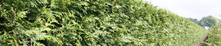 Reuzenlevensboom 'Excelsa' snoeien