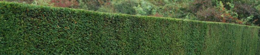 Taxus in de tuin