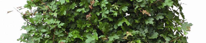 Veldesdoorn kopen bij Haagplanten.net