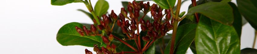 Viburnum tinus geschiedenis