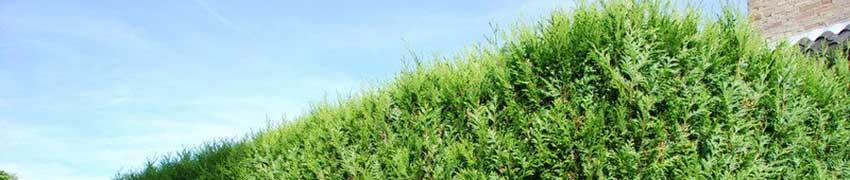 coniferen  haagplanten?