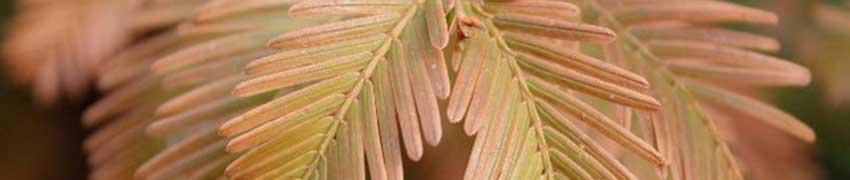 Coniferenhaag planten: niet te nat