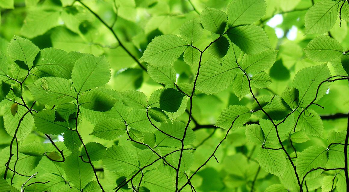 Formele hagen mooie bladeren