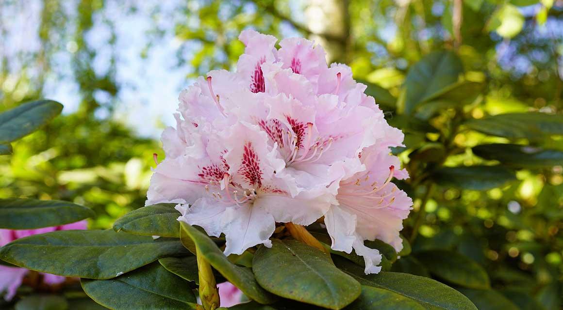 Groen in de winter, bont in het voorjaar Rhododendron