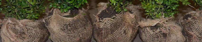 Haagplanten met kluit