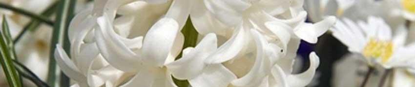 Hyacinten kopen op Haagplanten.net