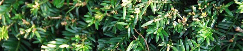 Informatie planten taxushaag