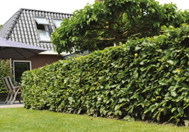 Kant en klaar hagen in uw tuin