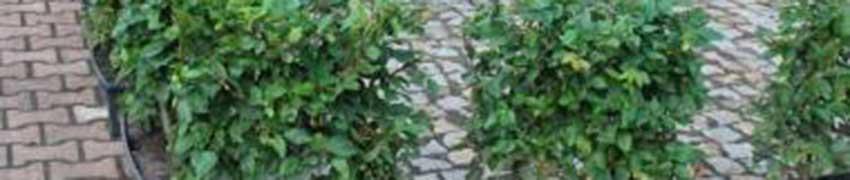 Kant-en-klaar hagen – het proces tot in uw tuin