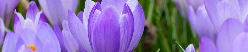 Krokus bloembollen