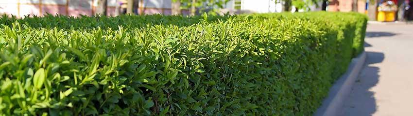 Online winterharde haagplanten kopen Laurier