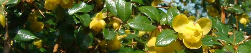 Berberis op Haagplanten.net