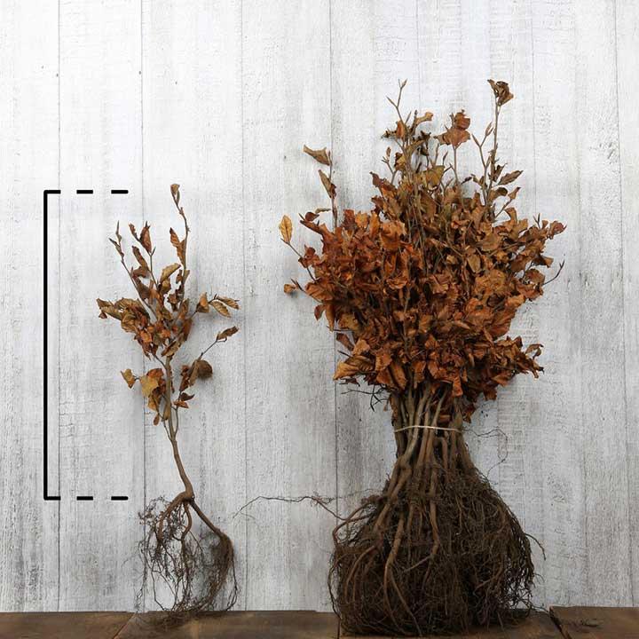 Beukenplanten met blote wortel