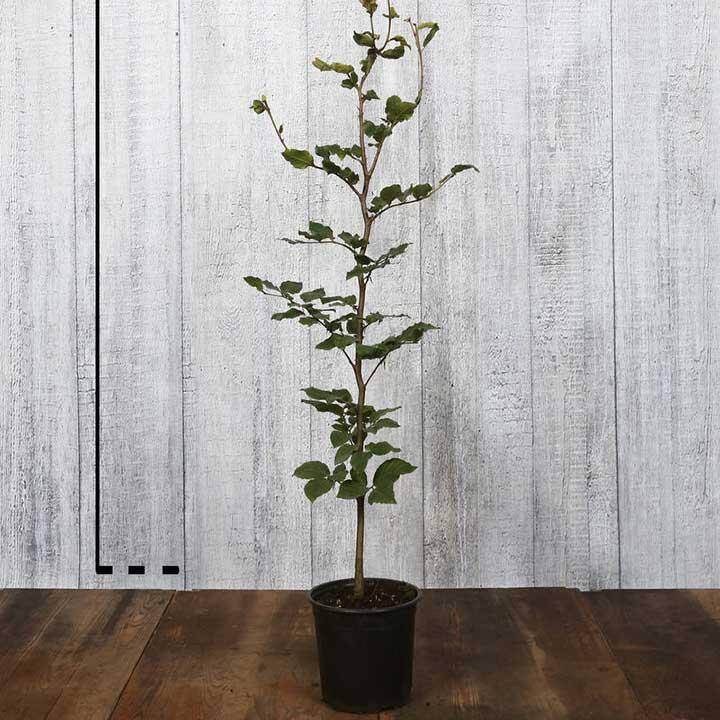 Beukenplanten in pot