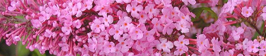 Bloeiende sierheesters