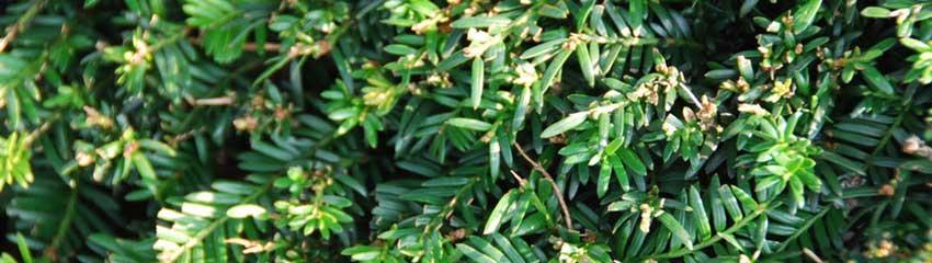 Blote wortels betekent voordelige haagplanten<