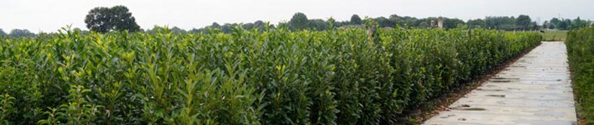 Boomkwekerijen en Haagplanten.net