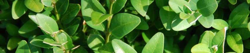 Buxus als haagplant