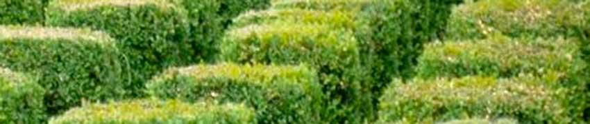 Buxus in de tuin: een klassieker
