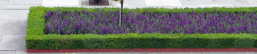 Buxus in de tuin: wanneer?
