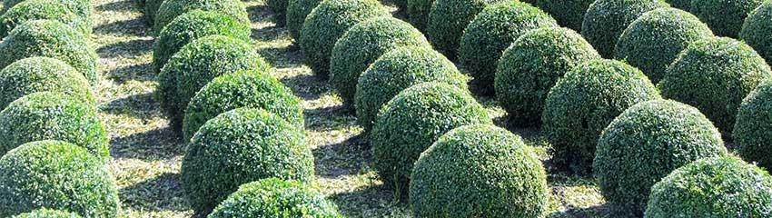 Buxushaag planten