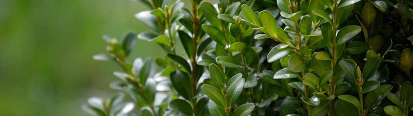 Buxushaag snoeien