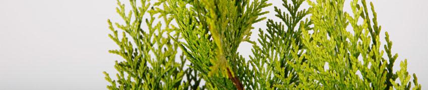 Californische cipres planten