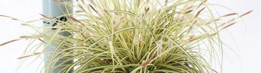 Carex 'Evergold' onderhoud