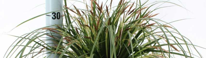 Carex 'Evergreen' decoratief in uw tuin