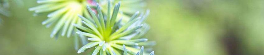 Coniferen, de bekendste groenblijvende haagplanten
