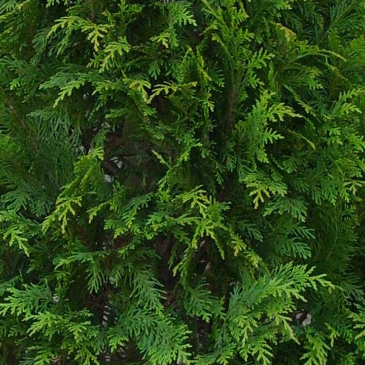 Coniferen leverbaar met blote wortel