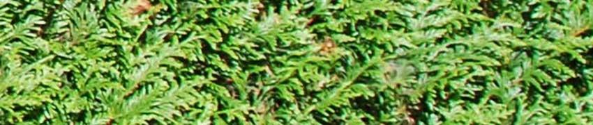 Coniferen snoeien