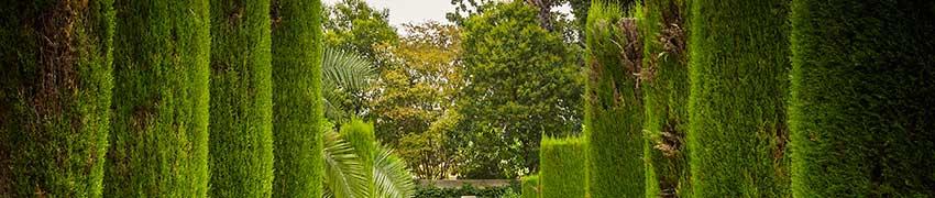 Coniferenhaag soorten