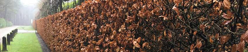 Fagus sylvatica als haagplant