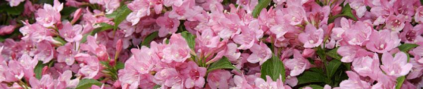 Gemengde bloeiende hagen