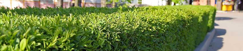 Genaturaliseerde planten kunnen ook tegen ons klimaat