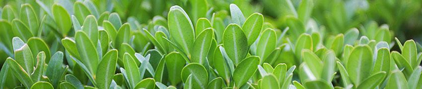 Groenblijvende haagplanten: Taxus en Buxus